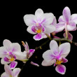 ������, ������: Pink and White Phalaenopsis Orchid