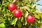 Three Apples — Stock Photo