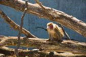 обезьяна — Стоковое фото