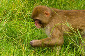 Monkey Eating Grass — Stock Photo