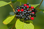 Red and Black Berries — Stock Photo