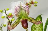 Paphiopedilum Eureka and Raisin Pie Cross Orchid — Stock Photo