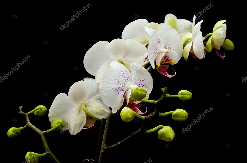 Orchidea phalaenopsis bianca foto stock scruggelgreen - Come curare un orchidea in casa ...