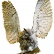 Stock Photo: Owl isolated with its wings up