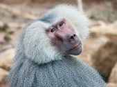 An old baboon at zoo — Stock Photo