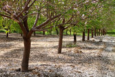 Almond trees rows background — Stock Photo
