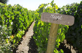 Merlot sign in the vineyard — Stock Photo