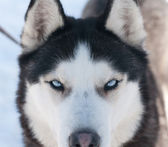 Husky blue eyes — Stock Photo