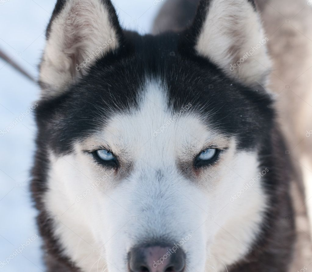 Blue And Green Eyed Husky images