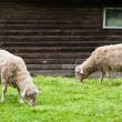 Two two sheep on the lawn — Stock Photo
