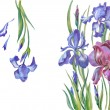 Постер, плакат: Irises on a white background