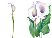 White calla lilies on a white background — Stock Photo