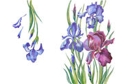 Irises on a white background — Stok fotoğraf