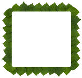 Frame of rhoicissus rhomboidea leaf — Stock Photo