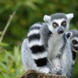 Two ring-tailed lemur — 图库照片