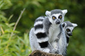 Two ring-tailed lemur — Stock Photo