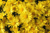 Yellow Chrysanthemum Flowers — Stock Photo