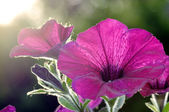 Detail of a petunia — Stock Photo