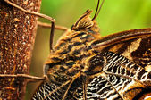 Giant Owl Butterfly — Stock Photo