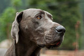 Great Dane — Foto de Stock