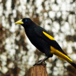 Stock Photo: Yellow Rumped Cacique