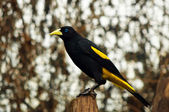 Yellow Rumped Cacique — Stock Photo