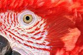 Scarlet Macaw Closeup — Stock Photo