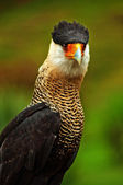 Caracara Bird of Prey — Stock Photo