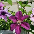 Clematis and petunia — Stock Photo #9689165