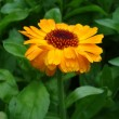 Calendula — Stock Photo #9689259