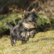 Yorkshire terrier puppy running through a meadow in the garden — Stock Photo