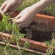 Transplanting tomato plants - Stock Photo