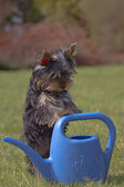 Yorkshire terrier puppy resting on blue watering — Stock Photo