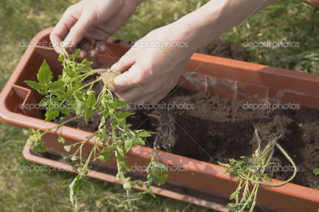 Detailed view of woman's hands, which in itself relies tomato plants to self-watering pots. — Stock Photo #10054402