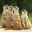 Lovely group of Meerkats sits and look at the sky - Stock Photo