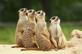 Lovely group of Meerkats sits and look at the sky — Stock Photo