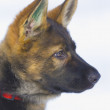 Female German Shepherd puppy (3 month old) — Stock Photo #9422471