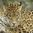 Jaguar lying on a tree trunk - Stock Photo