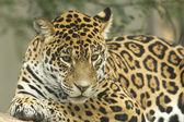 Jaguar lying on a tree trunk — Stock Photo
