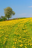 Dandelion meadow and alone tree — Stock Photo