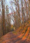 Chemin d'accès dans une forêt de hêtres au coucher du soleil — Photo