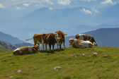 The group of cows grazing on mountain meadow — Stock Photo