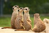Lovely group of meerkats — Stock Photo