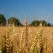 Field of the ripening grain. - Stockfoto