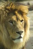 Portrait of a Lion. — Stock Photo