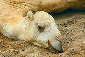 White camel's head — Stock Photo