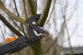 Pruning fruit trees by pruning shears. — Stock Photo