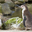 Stock Photo: Humboldt penguin