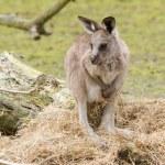 A young kangaroo — Stock Photo