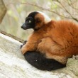 Red-bellied Lemur (Eulemur rubriventer) - Stock Photo